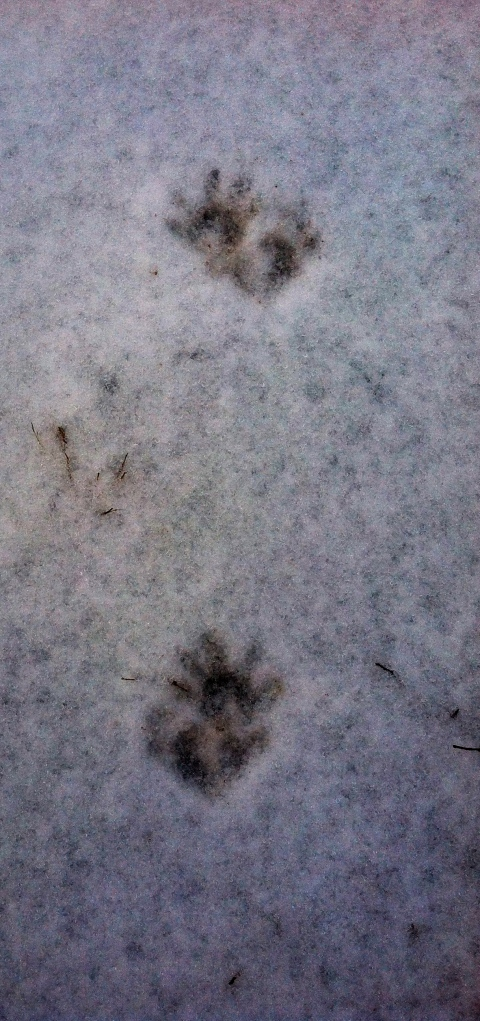 Night time visitor.  Found these raccoon tracks around my barn and circling my back door this morning.