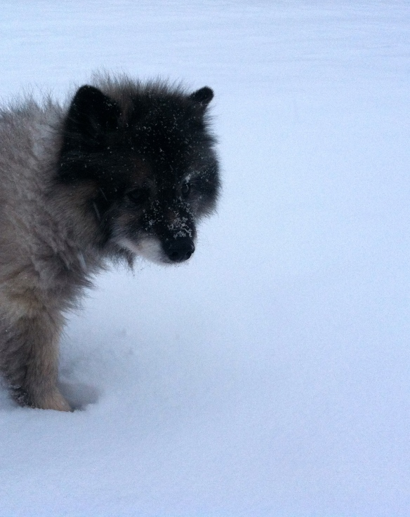 Kodi.  Fresh snow, old dog.