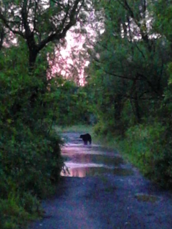 Bear in the fields behind our homes, en route to the Battenkill.